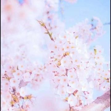 櫻花的凋謝